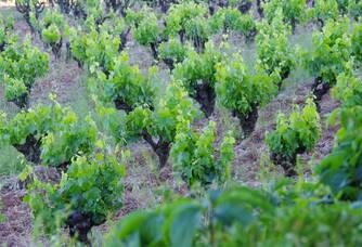 Les vignes de Mas Champart