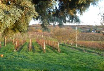 Vue sur les vignes du Domaines des Noëls