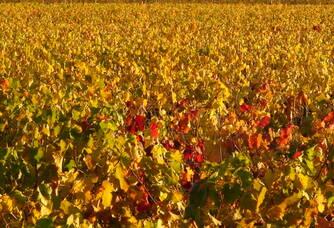 Les vignes du Château la Renommée en automne