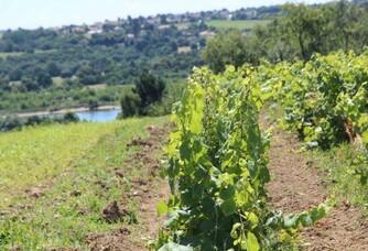 Les vignes du Domaine Landron Chartier