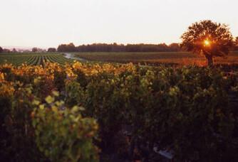 Coucher de soleil dans les vignes du domaine Tatin